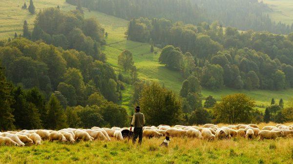 Um pastor cuidando de seu rebanho, em pé em uma montanha verdejante.